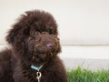 Chocolate brown labradoodle puppy dog lays on the grass Royalty Free Stock Photo