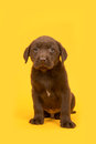 Chocolate brown labrador retriever puppy sitting on a yellow background Royalty Free Stock Photo