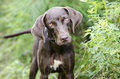 Chocolate Brown Weimaraner Pointer mixed breed dog