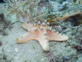 Chocolate chip sea star also known as horned knobbly protoreaster nodosus Royalty Free Stock Image