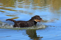 Chocolate lab in the lake with a stick Royalty Free Stock Photo
