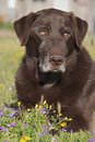 Chocolate Lab Portrait Stock Images
