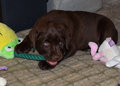 Chocolate lab puppy closeup of labrador chewing on rope toy blanket Royalty Free Stock Image