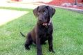 Chocolate Lab puppy Royalty Free Stock Photo