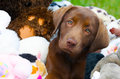 Chocolate lab puppy with toys. Royalty Free Stock Photos