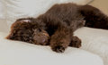 Chocolate labradoodle puppy dog lays flat on the couch Royalty Free Stock Photo