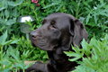 Chocolate labrador cute in the garden plants Royalty Free Stock Images