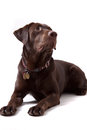 Chocolate labrador dog on white background retriever puppy isolated Stock Photography
