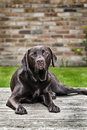 Chocolate Labrador in Garden Royalty Free Stock Image
