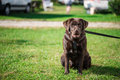 Chocolate labrador on grass field Royalty Free Stock Photos
