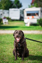 Chocolate labrador on grass field Stock Photography