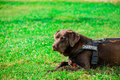 Chocolate labrador on grass field Stock Photos