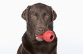 Chocolate labrador with large chew toy in his mouth handsome Royalty Free Stock Image
