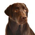 Chocolate labrador portrait isolated on white Stock Image
