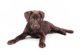 Chocolate labrador puppy lying down on the floor with white background Stock Images