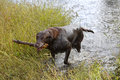 Chocolate Labrador Retriever Stock Images