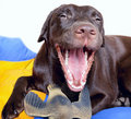 Chocolate Labrador Retriever dog Stock Photography