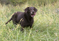 Chocolate labrador retriever a hunting in a meadow Stock Photo