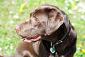 Chocolate labrador retriever portrait of a beautiful Royalty Free Stock Photo