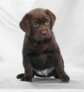 Chocolate labrador retriever puppy Royalty Free Stock Photos