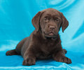 Chocolate labrador retriever puppy Royalty Free Stock Photo