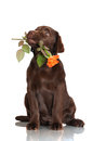 Chocolate labrador retriever puppy holding a rose flower brown on white Stock Photography