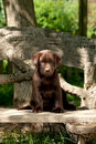 Chocolate labrador retriever puppy sitting bench Stock Photo