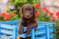 Chocolate labrador retriever sitting in wagon a beautiful colored retrieve puppy sits a the flowers the background give this photo Royalty Free Stock Photo