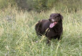 Chocolate labrador retriever a walking through a field hunting Stock Images
