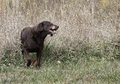 Chocolate labrador retriever a walks out of a field after fetching a stick Royalty Free Stock Image