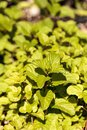 Chocolate mint herb Mentha x piperita 'Chocolate' grows in a
