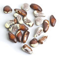 Chocolate seashells isolated on white Stock Photography