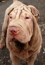 Chocolate shar pei portrait Royalty Free Stock Images