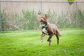 Chocolate and white pit bull running