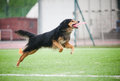 Chod dog catching disc in jump in competitions Royalty Free Stock Image