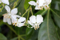 Choisya ternata, Mexican orange, Mock orange Royalty Free Stock Photo