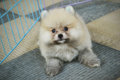Choko pomeranian puppy male months old Stock Images
