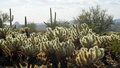 Cholla Cactus - Backlit Royalty Free Stock Photo