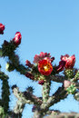 Cholla cactus red flowers on a in arizona s sonoran desert Stock Image
