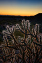 Cholla cactus at sunset chain fruit arizona Stock Photos