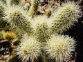 Cholla spines bright in nevada desert Stock Photography