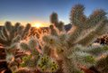 Chollas Cactus Sunrise Royalty Free Stock Photos