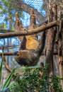 Choloepus didactylus two toed sloth hanging on a tree Royalty Free Stock Image