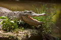 Chongqing crocodile crocodile pool center crocodiles are found alive so far the earliest and most primitive reptile it is in the Stock Image