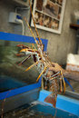 Choosing a spiny lobster in the aquarium Royalty Free Stock Photo