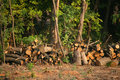 Chopped firewood under trees Stock Images