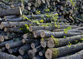 Chopped trees deforestation oak for domestic fire heating danger of Stock Images