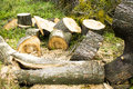 Chopped trees laying on the ground in forest Stock Photography