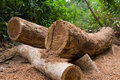 Chopped trees in thailand forest Royalty Free Stock Images