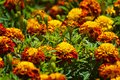 Chose up of bright and cheerful marigolds Royalty Free Stock Photo